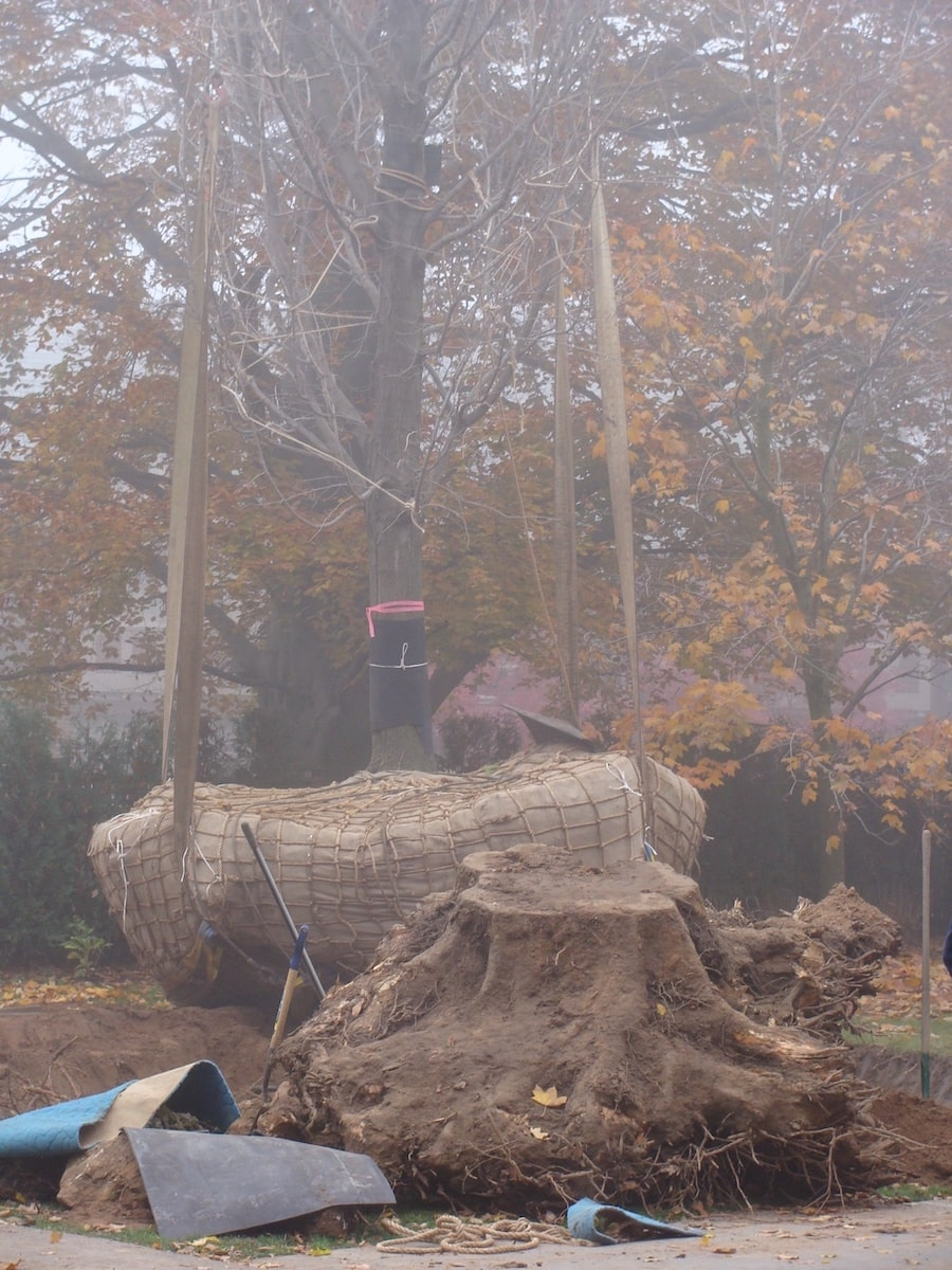 Tree uprooted and lifted