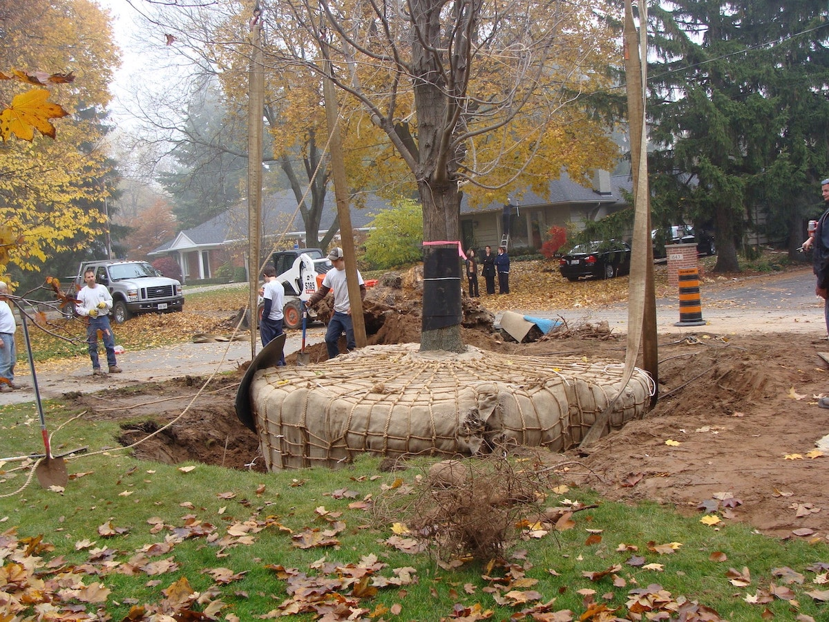 Tree in the process of being replanted